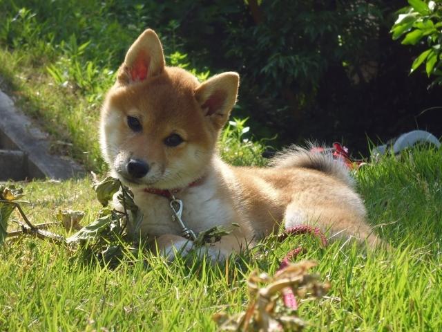 海外でも人気上昇中!柴犬の魅力と特徴