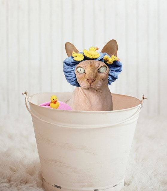 ネコちゃんの中には、お風呂好きな子もいるって知ってた?