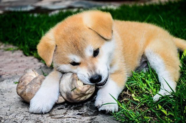 柴犬と秋田犬って、外見が似てるけど違いはあるの?
