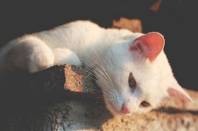 ネコちゃんの耳が赤い!可能性のある病気とは?