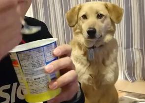 【犬のおもしろ動画】ヨーグルトを食べたい気持ちが隠し切れない!ワンちゃんと飼い主のアイコンタクト