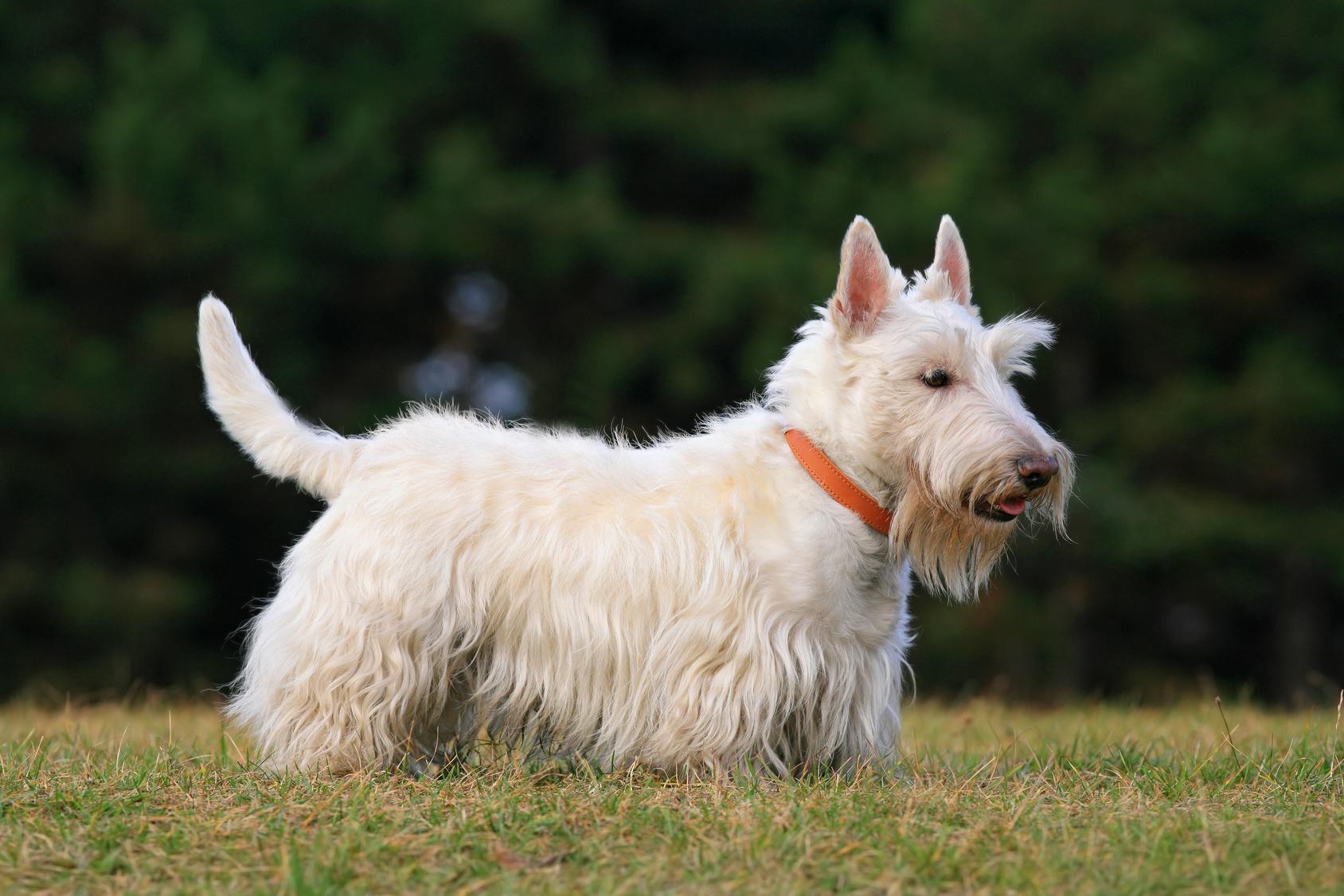 かなりの頑固者!?スコティッシュテリアという犬種とその気質