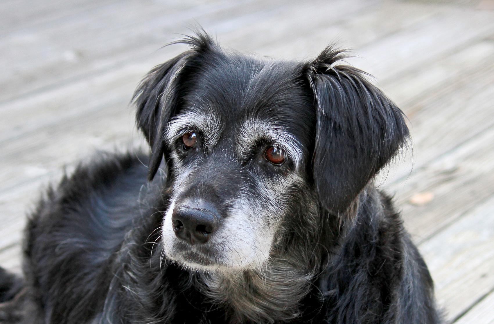 もしかして歩かせすぎ?シニア犬のお散歩は何分くらいがいいの?