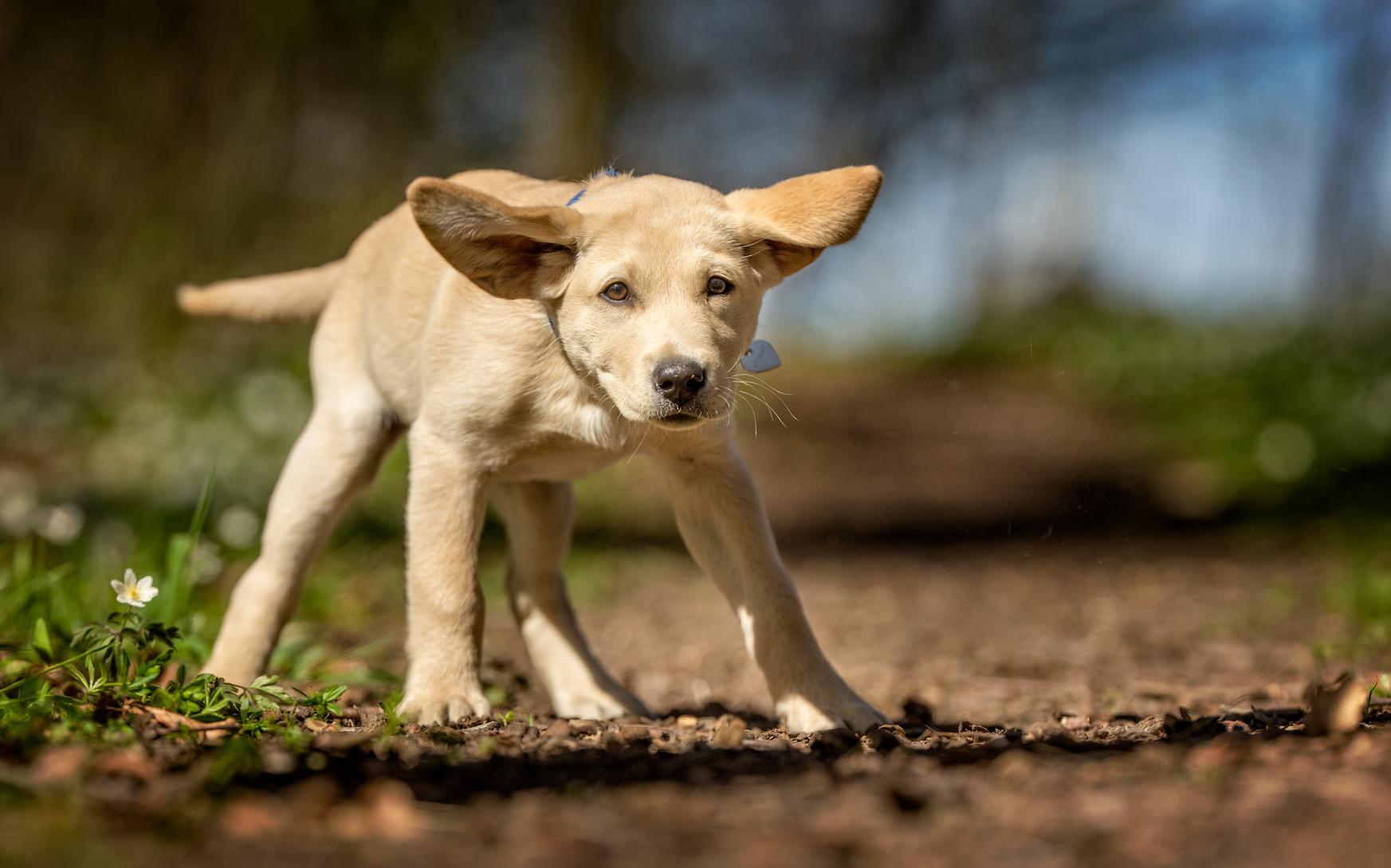 誰とでも仲良くなれる「ラブラドールレトリバー」の犬種の歴史について