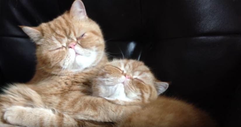【猫のおもしろ動画】エキゾチックショートヘアの兄弟猫による激しすぎる愛情表現!