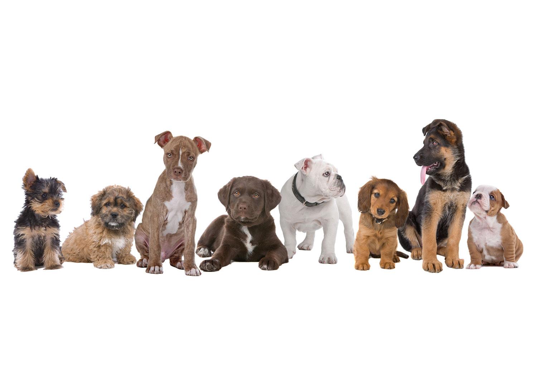 同じ犬でもココまで違う!?日本の犬と世界の犬の違い