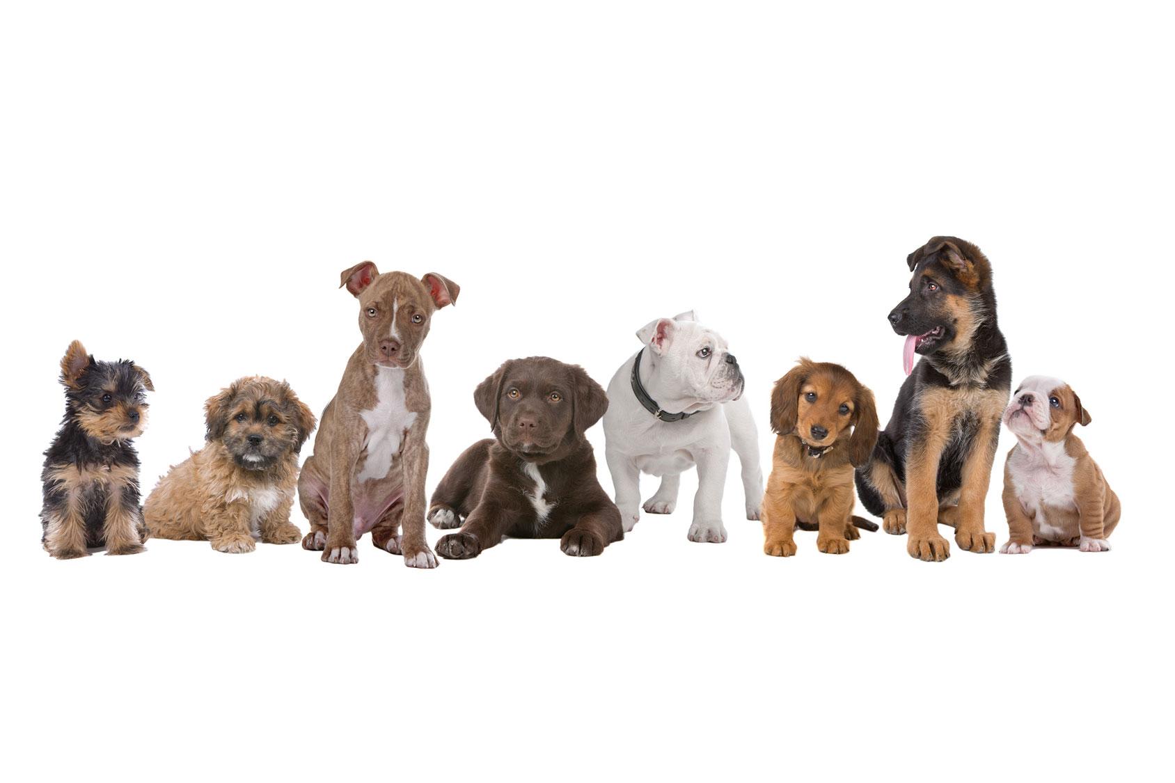 犬種の歴史と遺伝子による犬の特性の違い