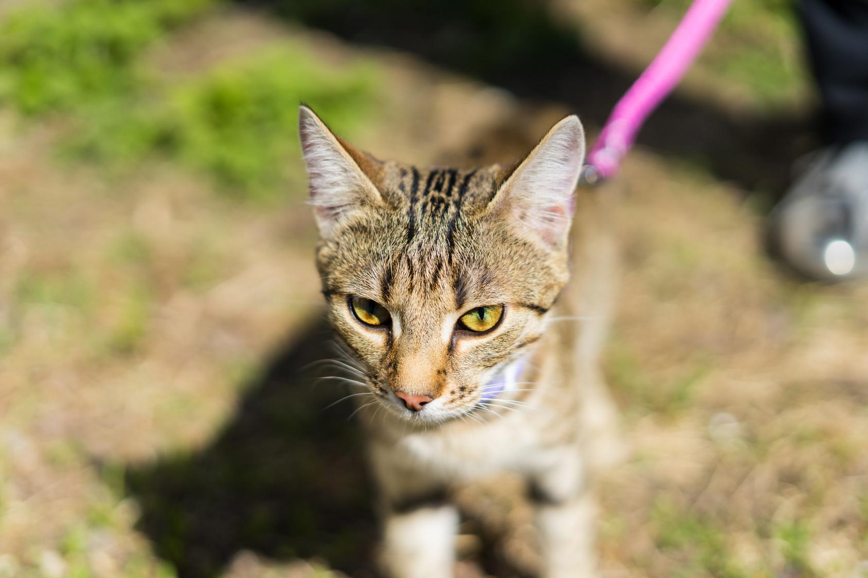 室内で飼っている猫もお外に出たい!猫に散歩の仕方をしつけよう