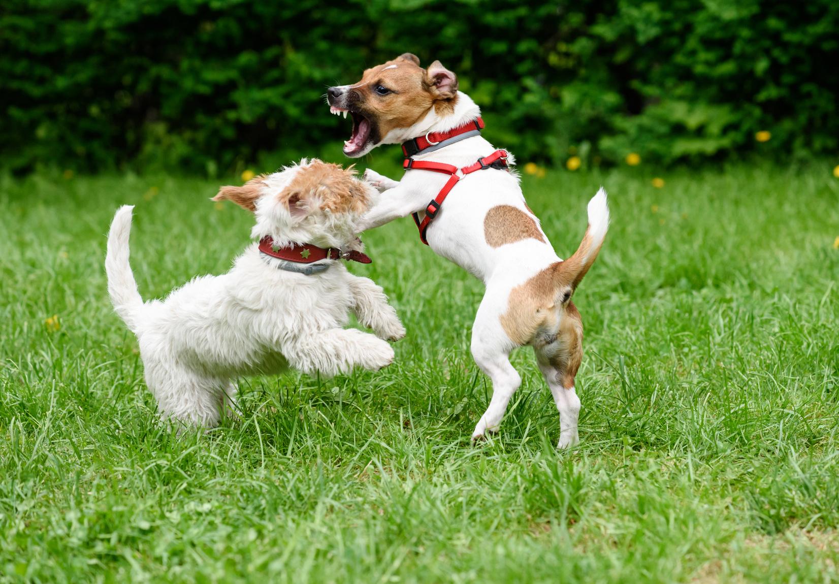 犬同士の喧嘩を止めるしつけ方法と喧嘩を避ける方法