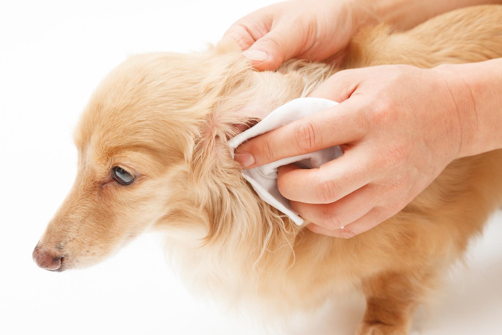 愛犬が耳掃除を嫌がる…イヤークリーナーを使った耳掃除のコツ!