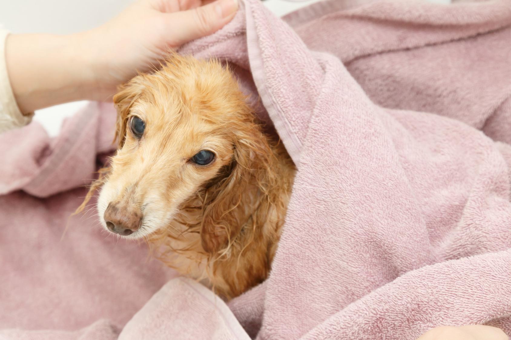 濡れたまま走り回らないで…!シャンプー後の犬の効率的な乾かし方