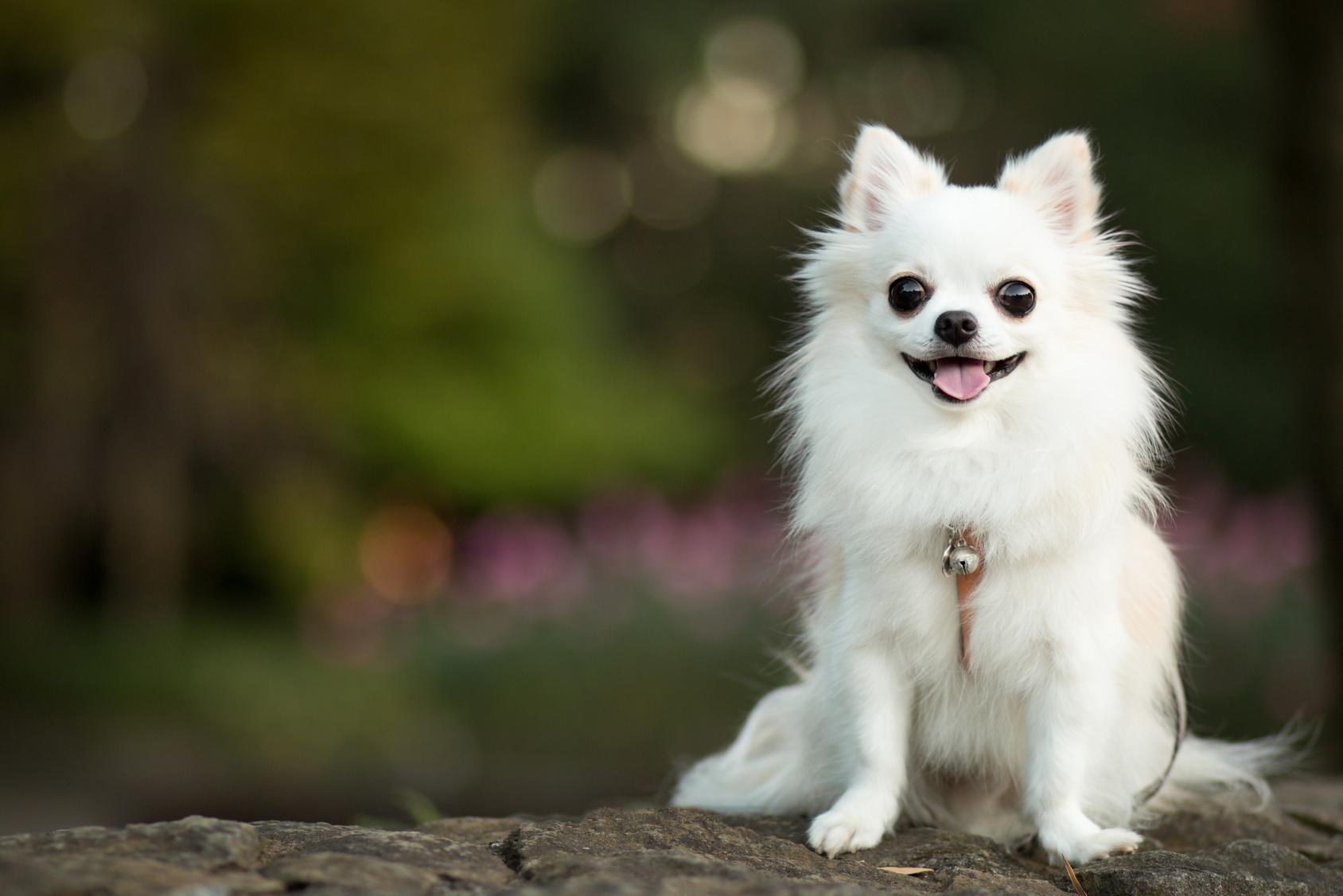 「犬を飼うならチワワがいい」という方へ!知っておくべき性格の特徴