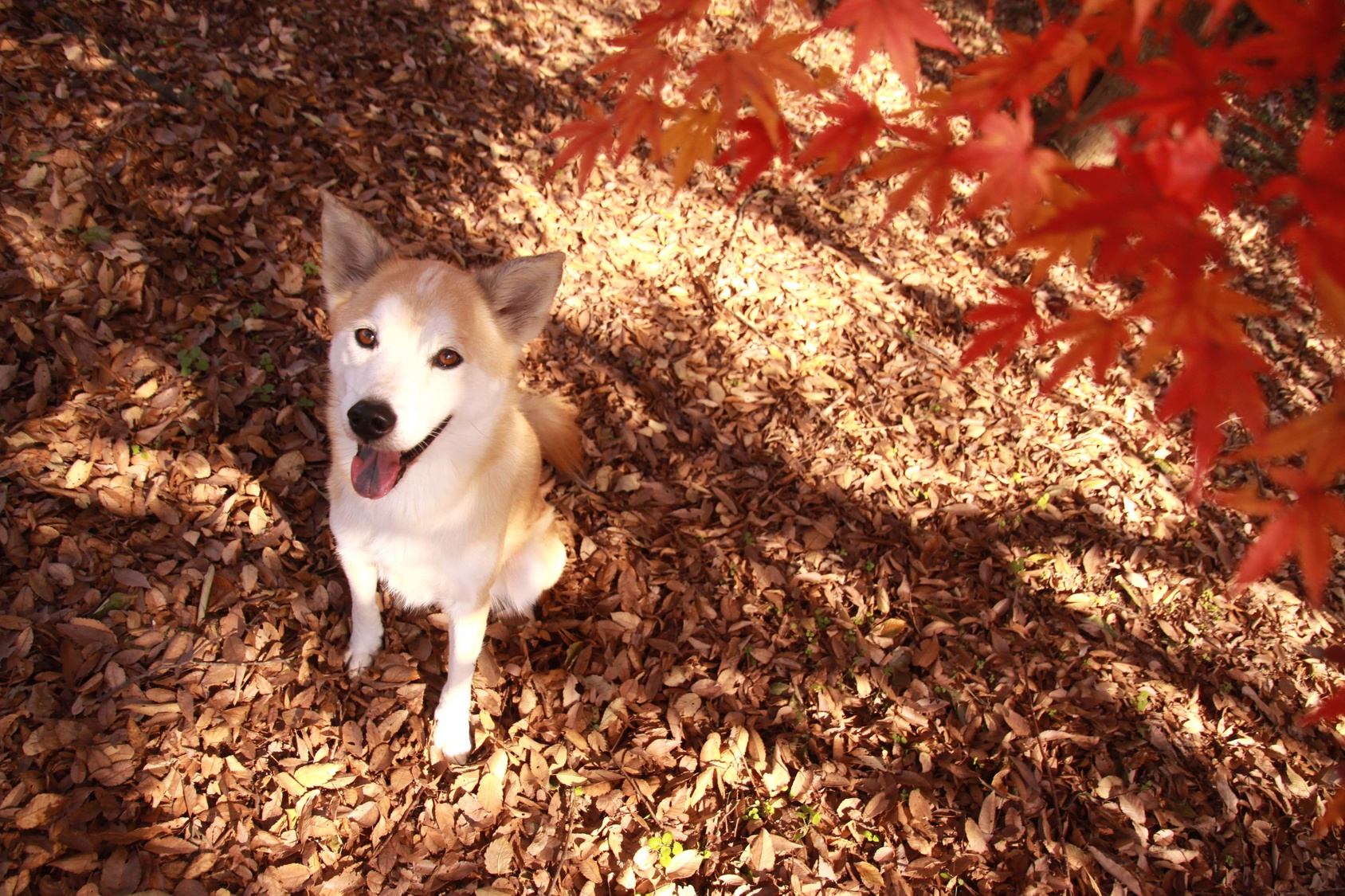 犬と一緒に出かけたい!紅葉の名所3選:関西編