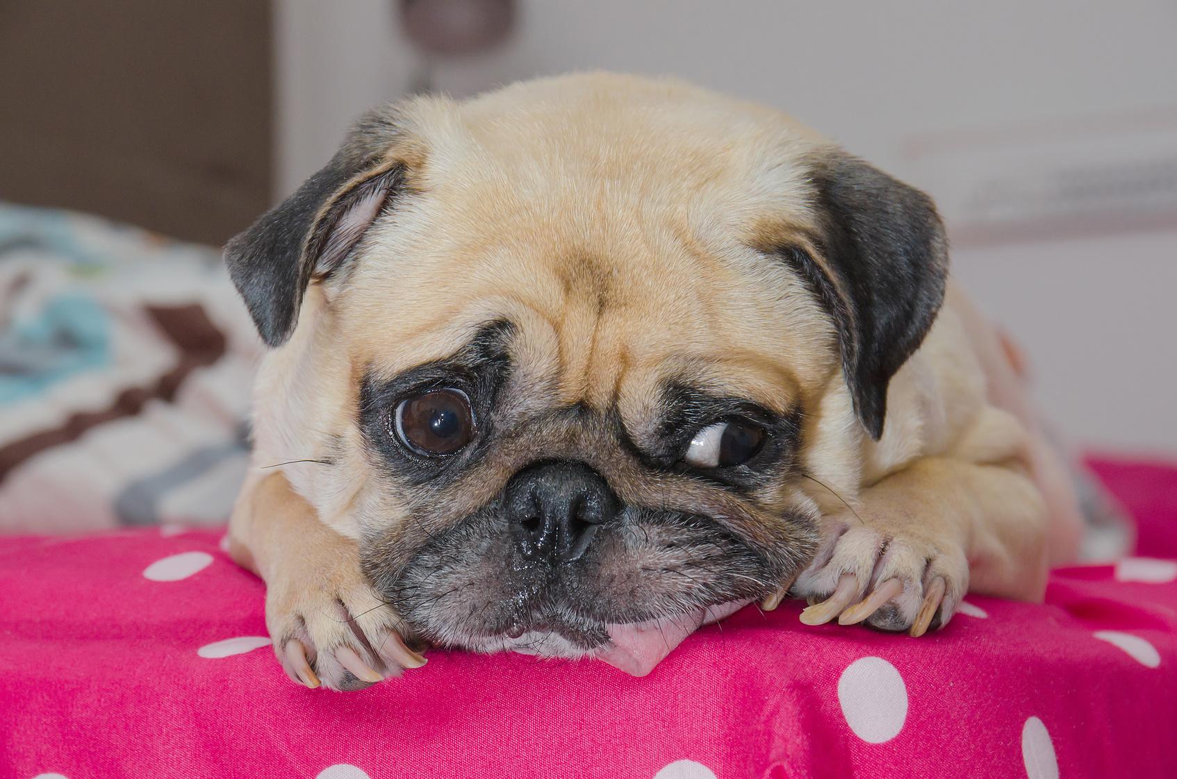 犬の気管虚脱!治療法と予防について