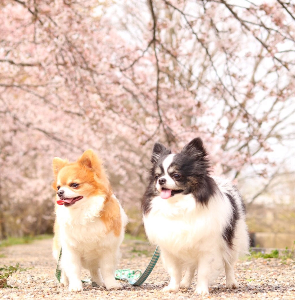 さがみ湖リゾートプレジャーフォレストは愛犬も大歓迎!関東最大級2500本の桜の祭典「さがみ湖桜まつり2018」に行こう