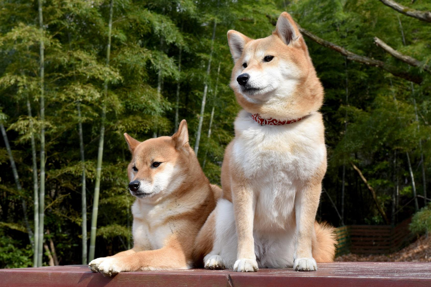 日本犬はなぜ飼いにくく、しつけが難しいと言われるの?