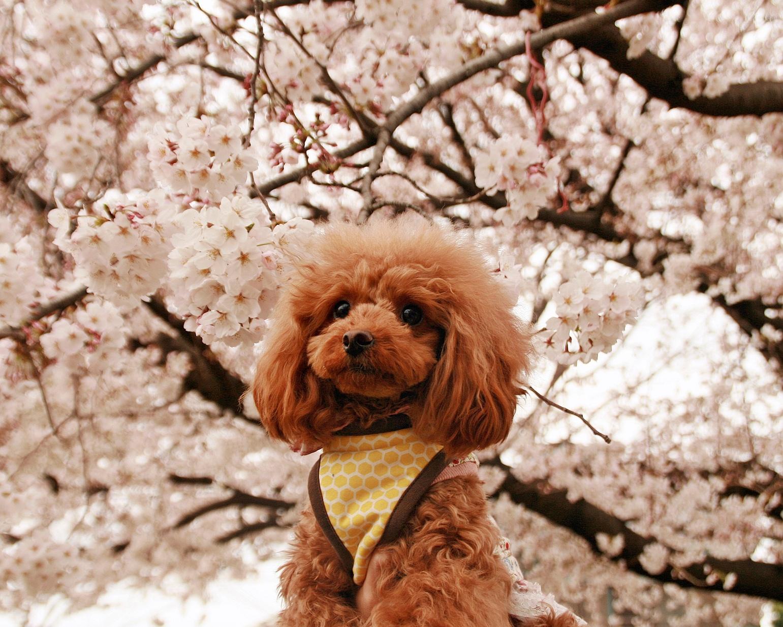 愛犬とお花見をしたい♪おすすめお花見スポット!関東編【東京23区】