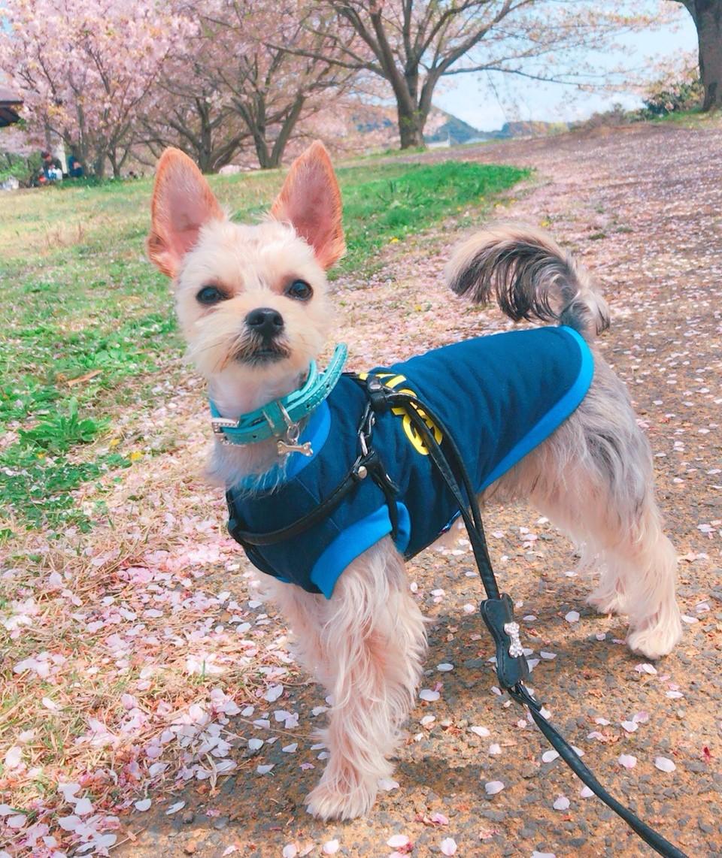 愛犬がお散歩の時に飼い主さんの前を歩きたがるのはなぜ?