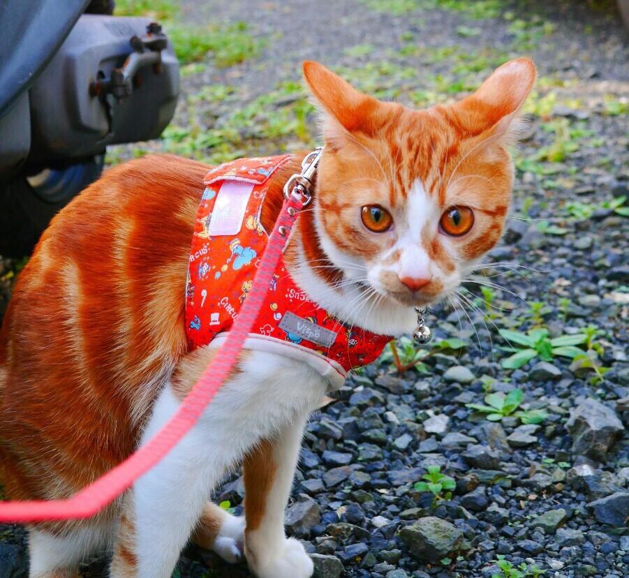 猫もリードに慣れたほうがいいの?リードのメリットとその着け方