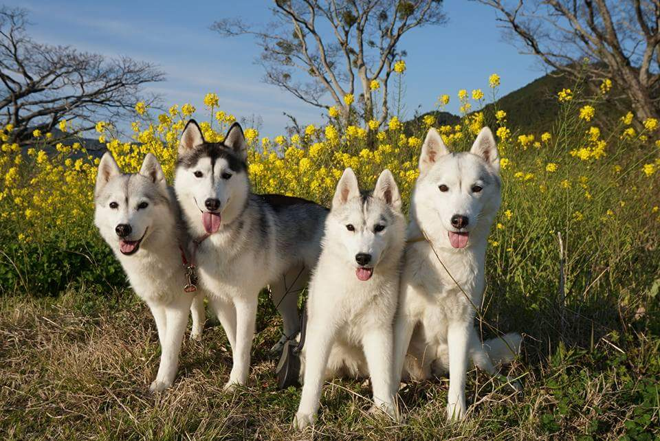 犬と暮らすのは初めてでも飼える?飼いやすい大型犬!