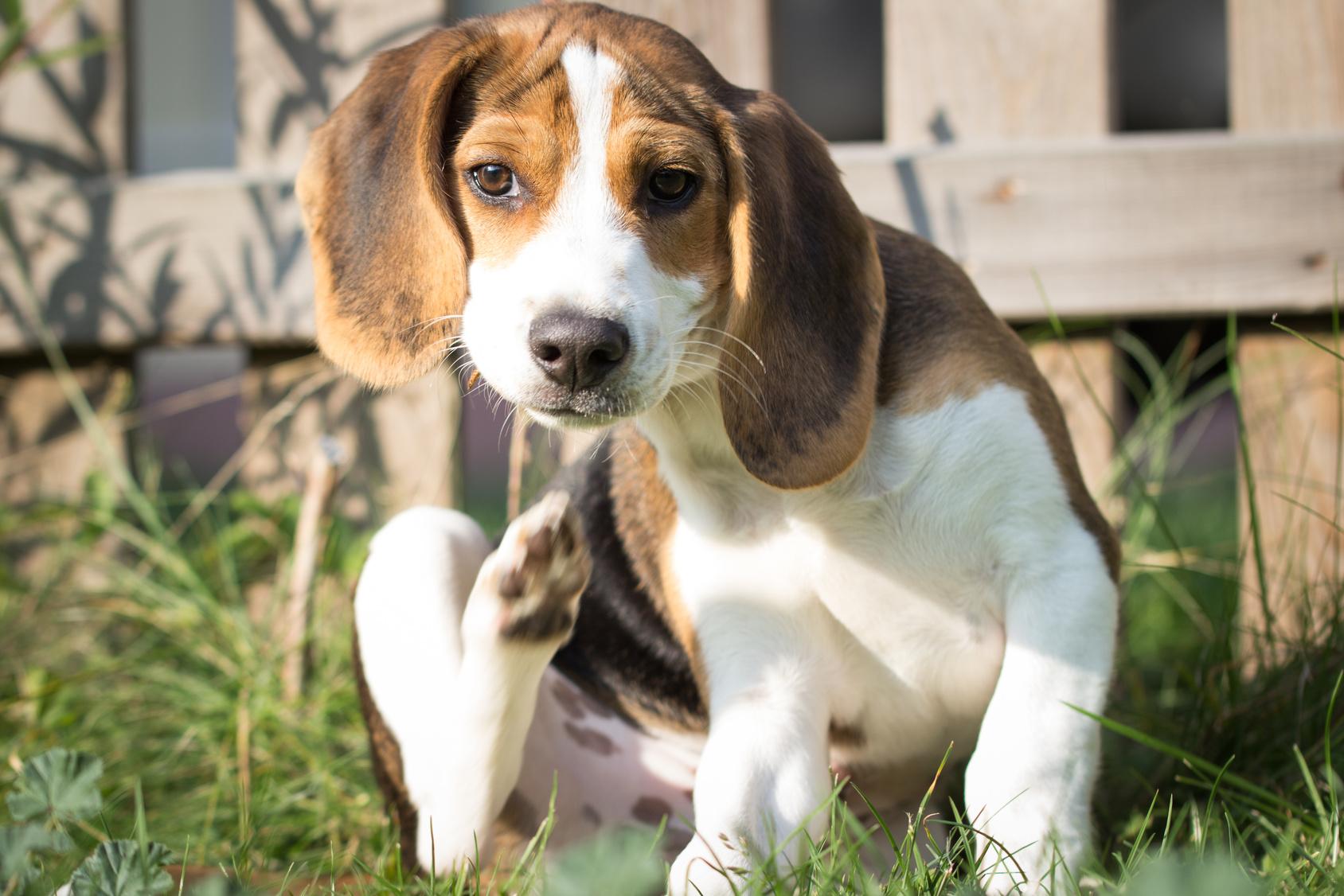 【徹底解説】犬の皮膚病について、症状から予防法まで!