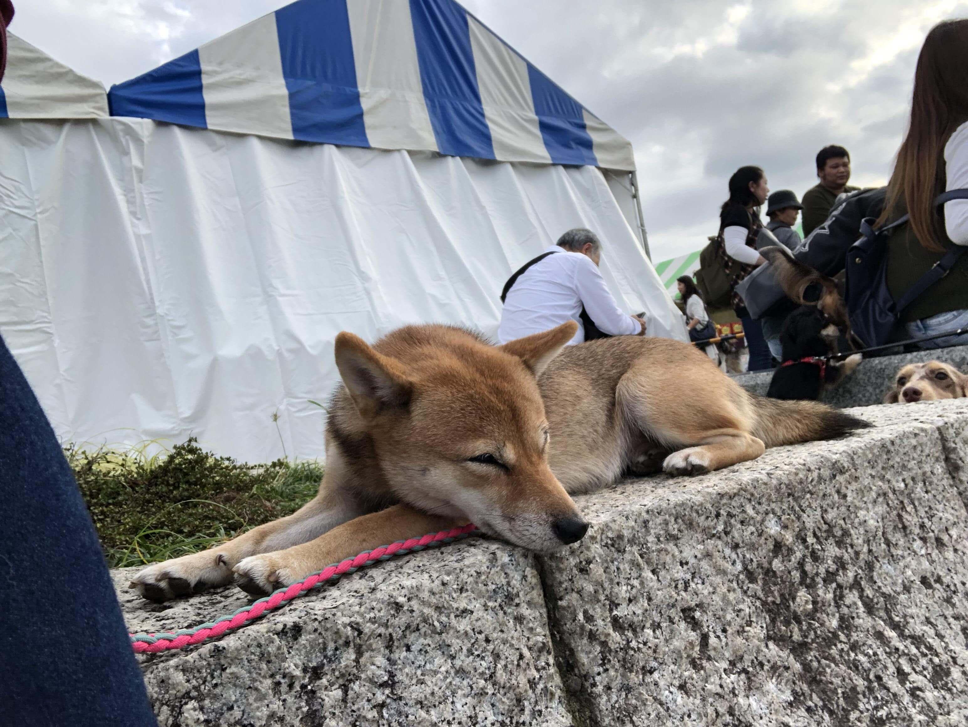 【イベントレポート】駒沢公園わんわんカーニバル2018に行ってきました【中編】