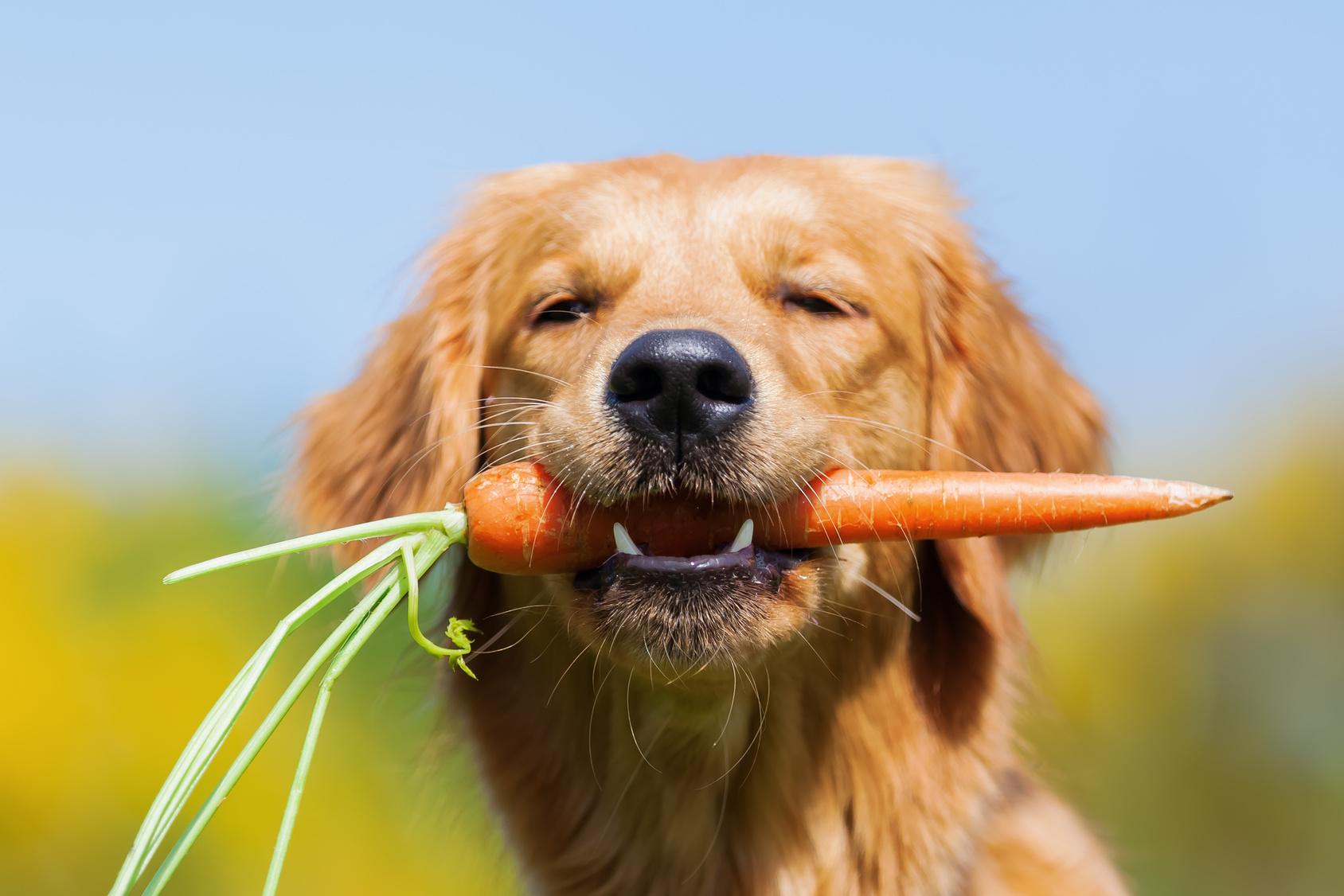 冬が旬のにんじんは犬も食べても大丈夫?