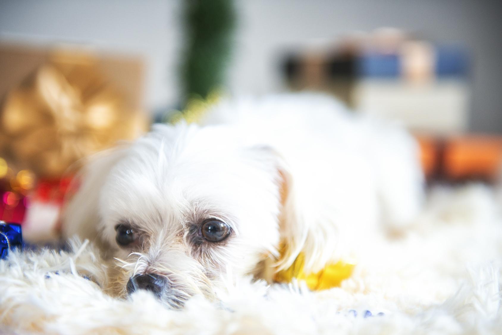 犬も仮病を使うことってあるの?それはどんなとき?