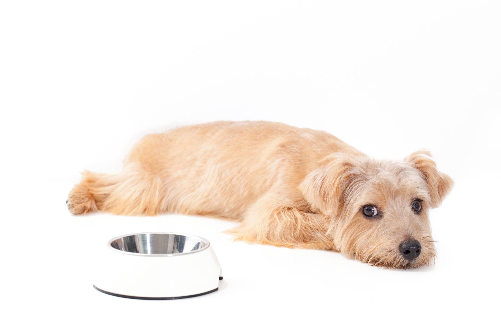 愛犬がごはんを食べないのは病気?わがまま!?見極めるポイントとは