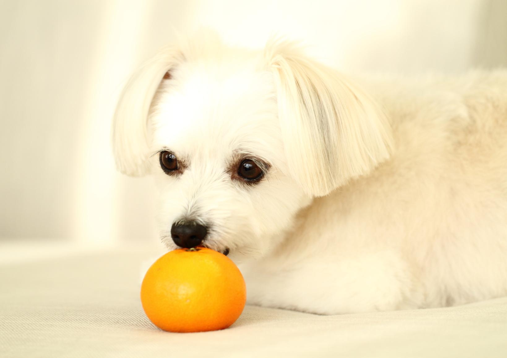 愛犬はみかんを食べても大丈夫?栄養満点なみかんを愛犬にあげよう