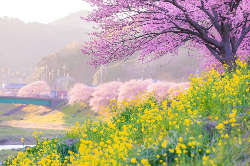インスタ映え間違いなし!愛犬と期間限定のみなみの桜と菜の花まつりに行こう!