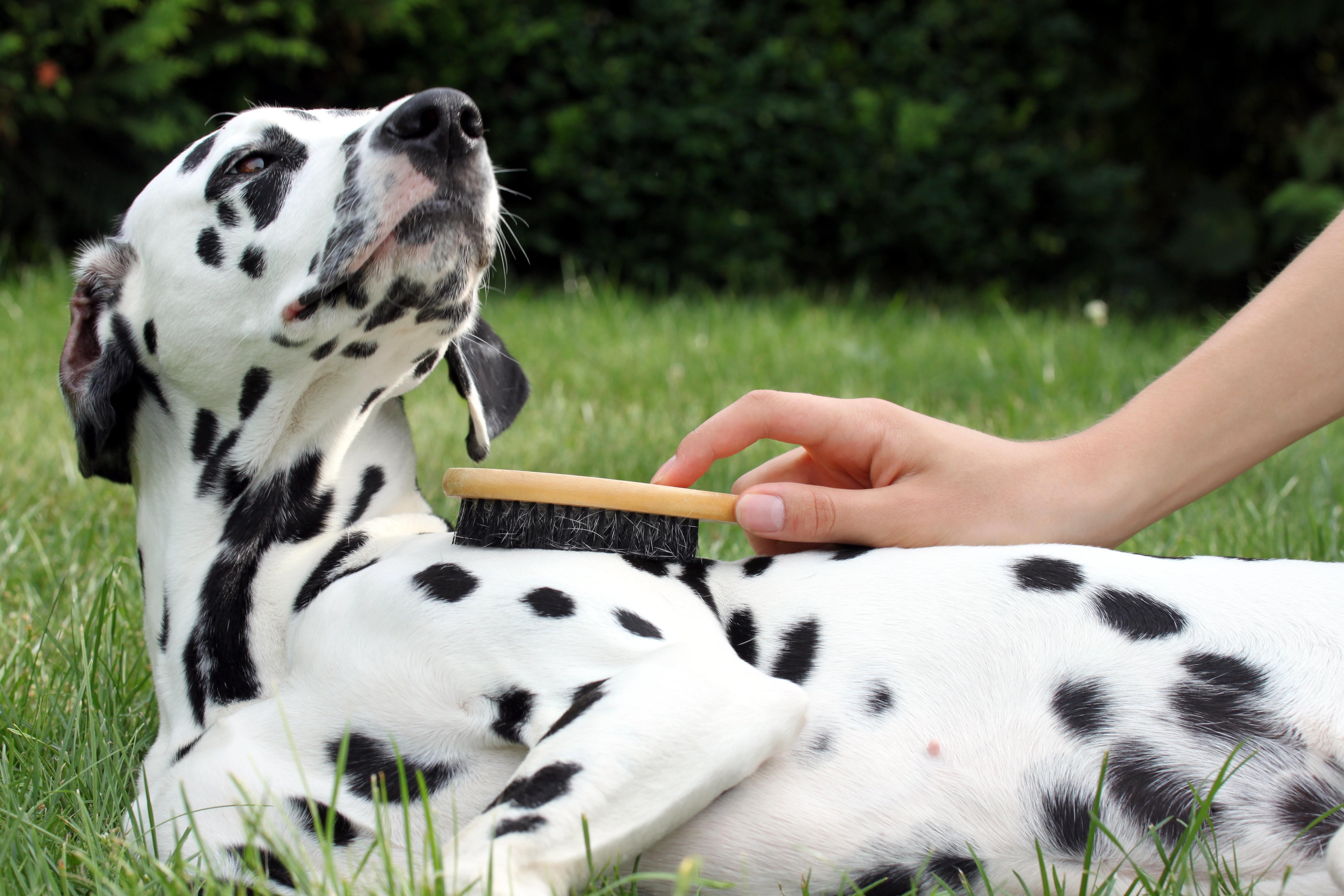 ブラッシングが嫌いな愛犬にブラッシングをする方法とは?ちょっとした工夫でブラシが大好きになるかも!
