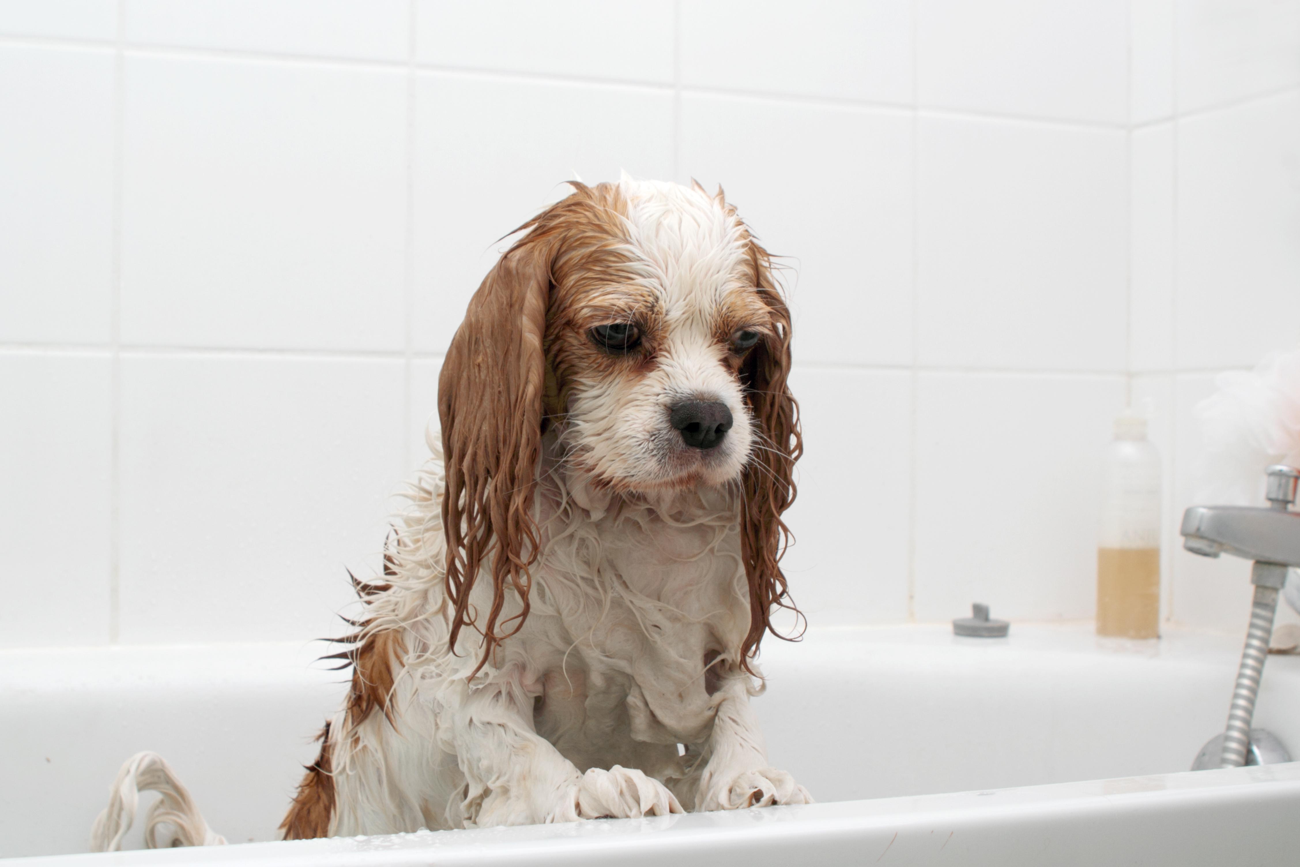 犬はなぜシャンプーが嫌いなの?愛犬がシャンプーを嫌がる6つの理由