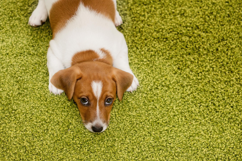 愛犬のイタズラを叱ったら上目遣いしているけど…反省しているの?落ち込んでいるの?