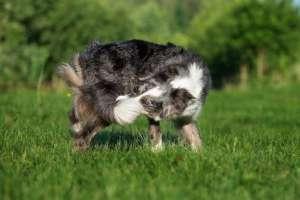 しっぽを追いかけて回り続ける犬