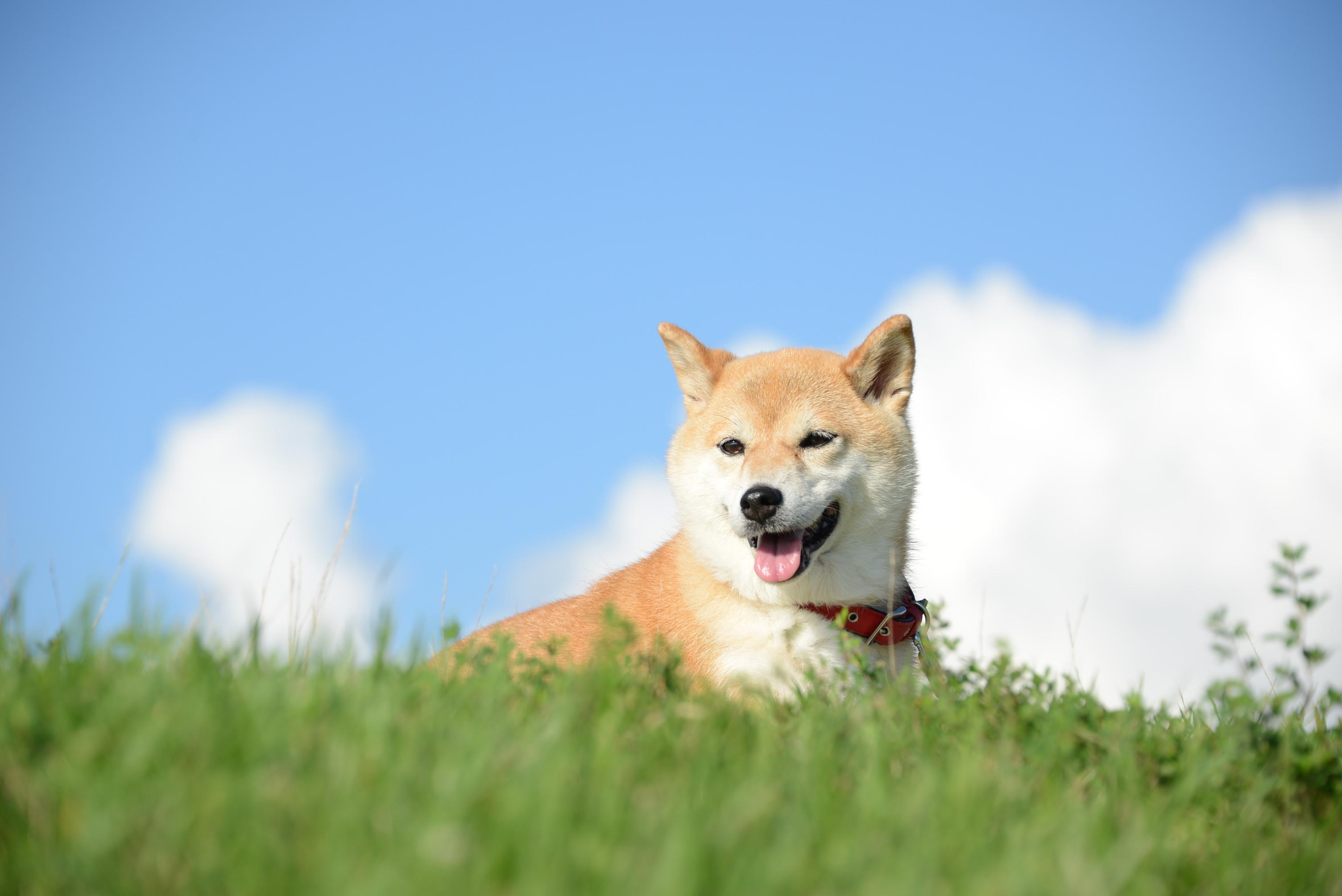 4月8日は、柴犬の日♪柴犬はどうしてこんなに人気なの?