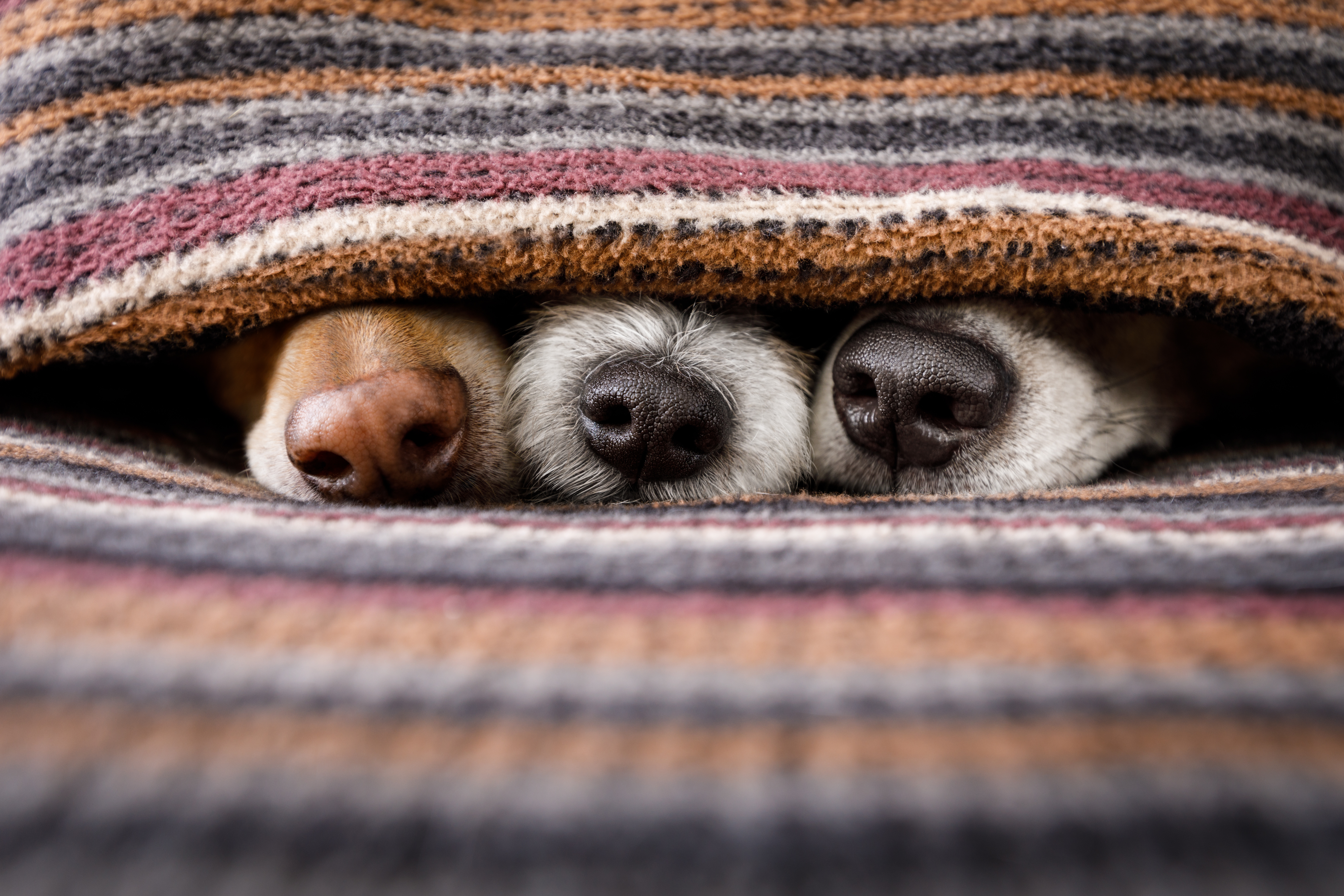 なぜ、犬の鼻はいつも濡れているの?乾燥している場合は病気の可能性があるって本当?!