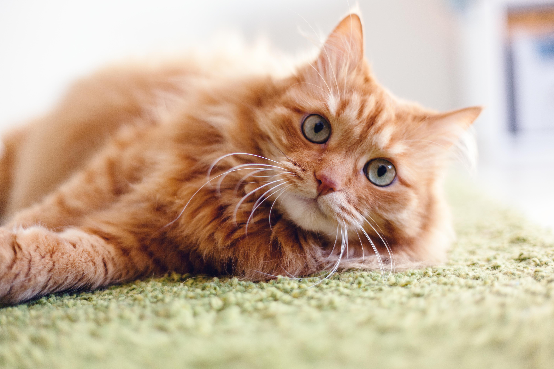 猫の理想体重ってどれぐらい?猫の正しい体重の測り方と肥満のリスクを知ろう