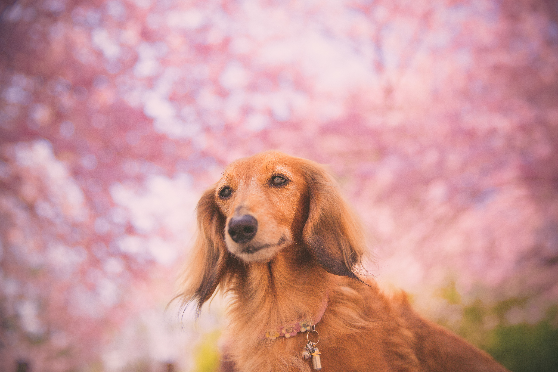 愛犬と一緒にお花見するときには、誤飲・誤食に要注意!