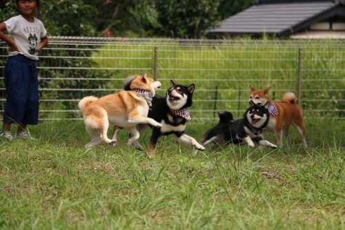 柴犬専用のドッグラン遊び