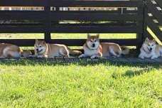 柴犬オーナー必見!滋賀県にある柴犬専用のドッグラン♪