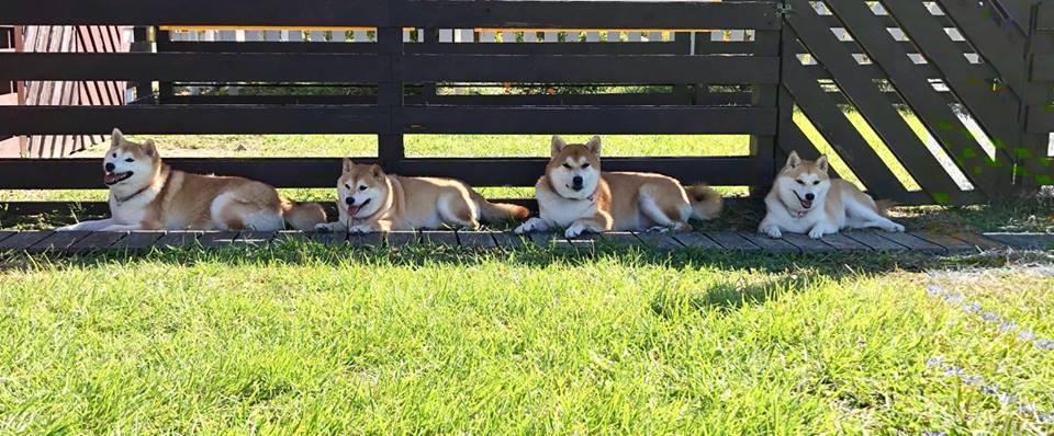 柴犬オーナー必見!滋賀県にある柴犬専用!柴犬だけのドッグランtarosaku♪