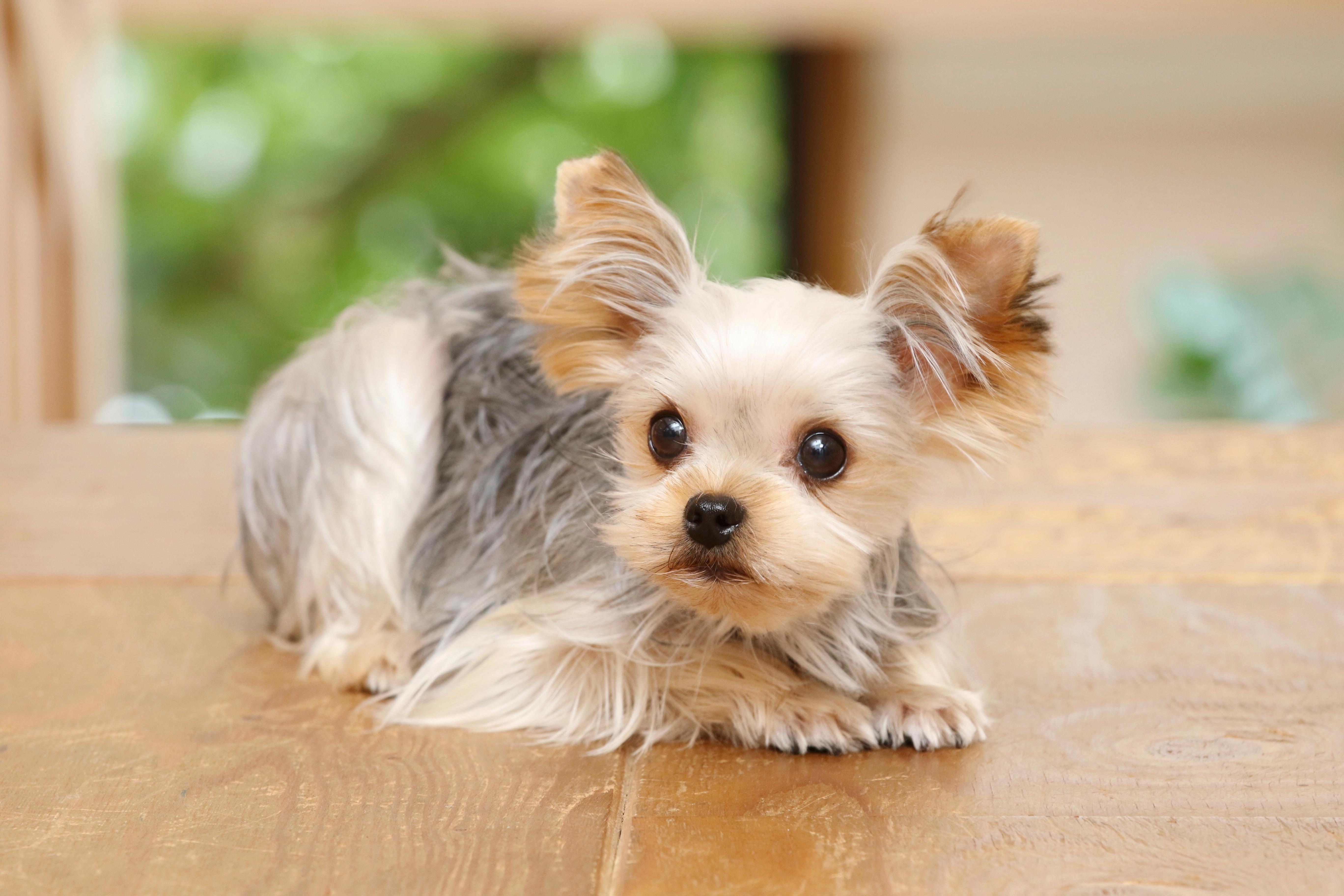ヨークシャーテリアは犬をはじめて飼う人におすすめの犬種!ヨークシャーテリアの飼い方