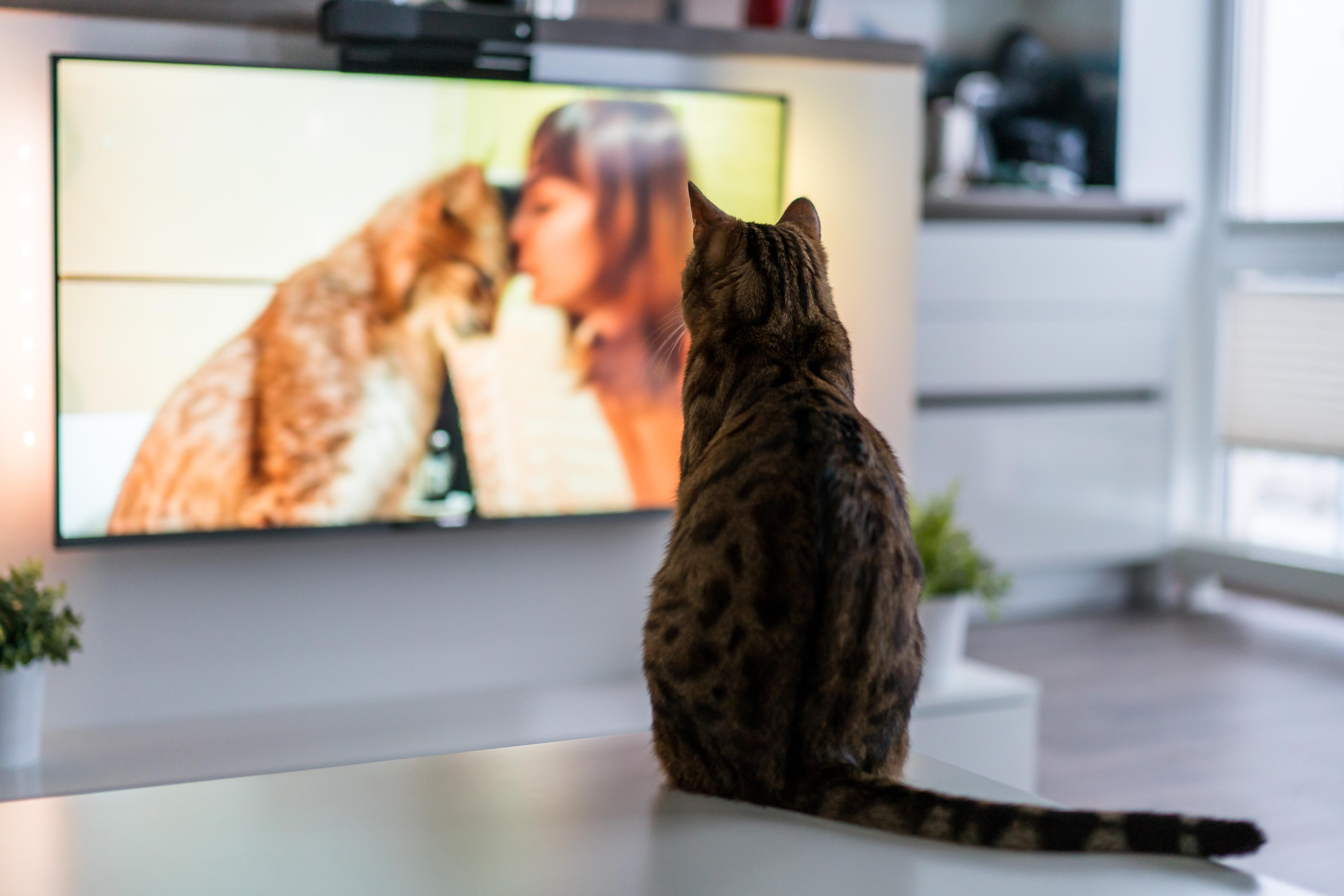 愛猫がテレビを見ているけど、意味は分かっているの?それともテレビを見て楽しんでいるの?