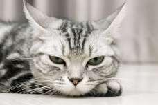 猫のおもしろ動画『アメリカンショートヘア』編