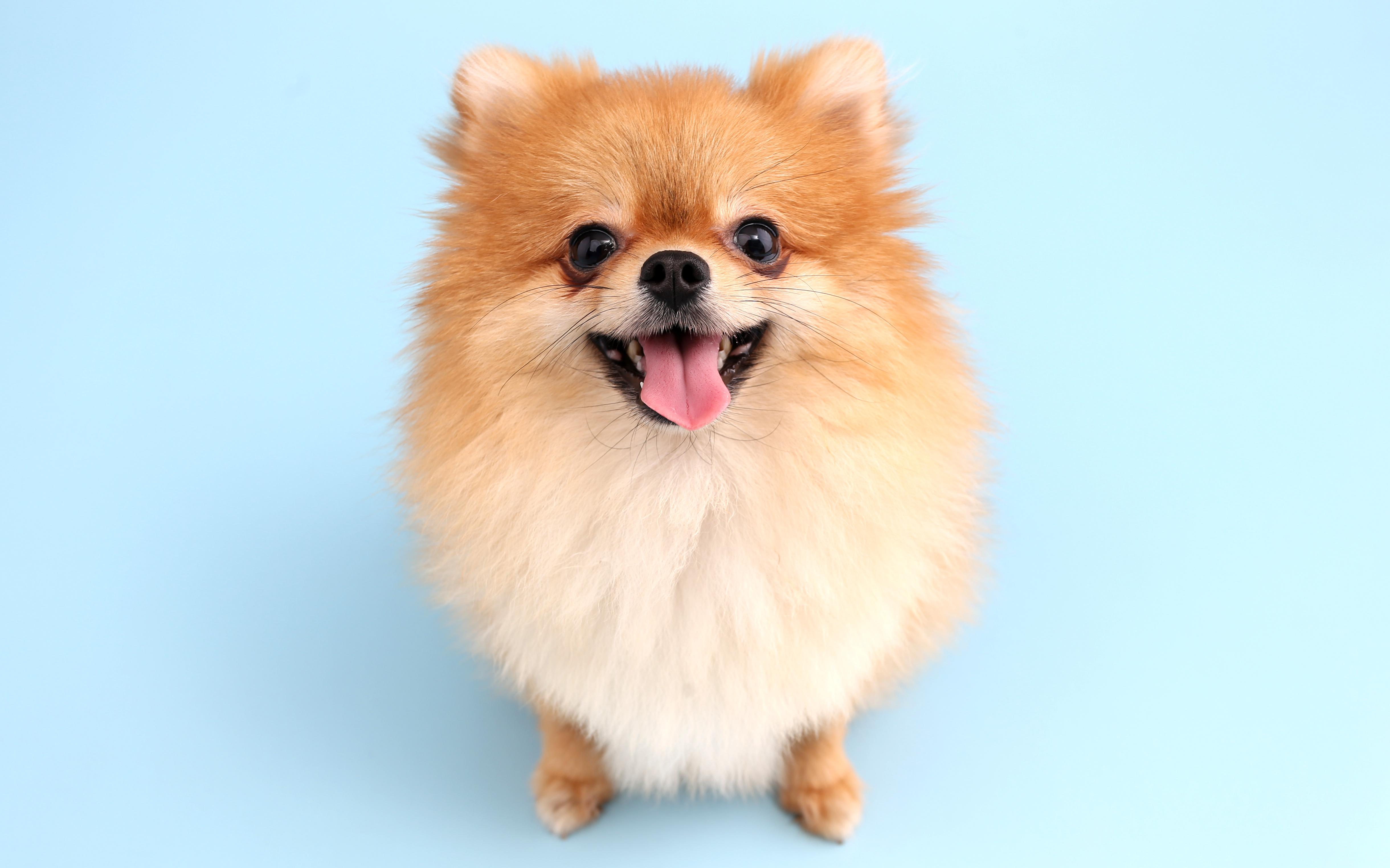 ポメラニアンの特徴や性格、飼い方について