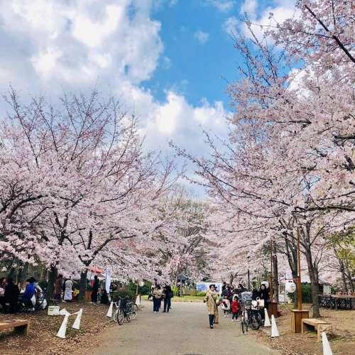 桜の名所「西の丸庭園」(ペット不可)