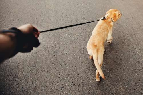 リードを引く犬