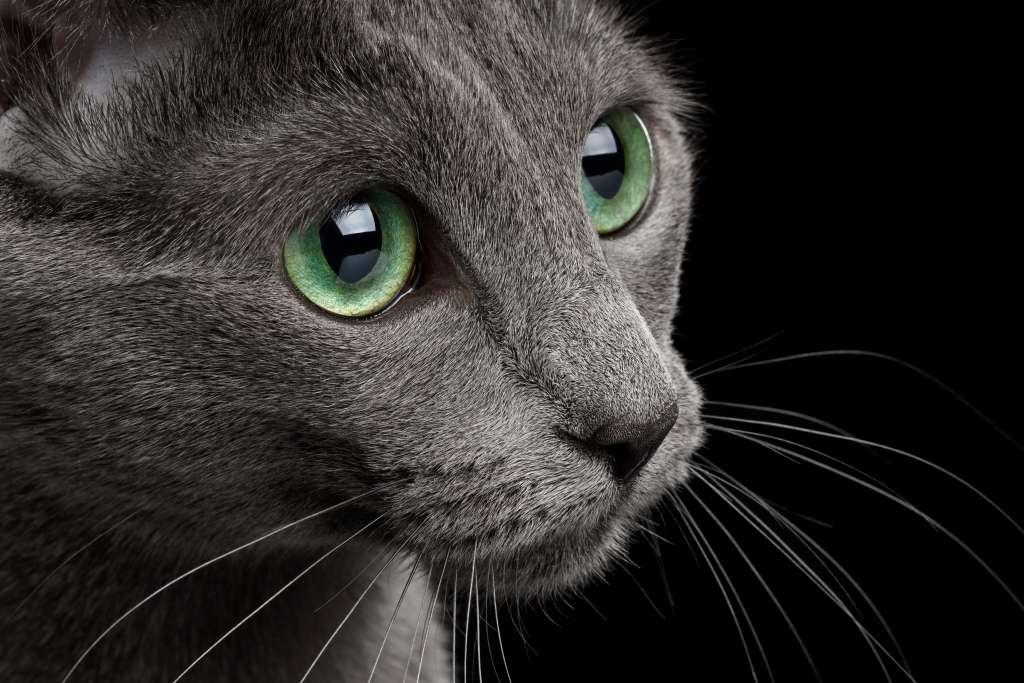 成長すると変化するロシアンブルーの目の色はブルーからグリーンへ