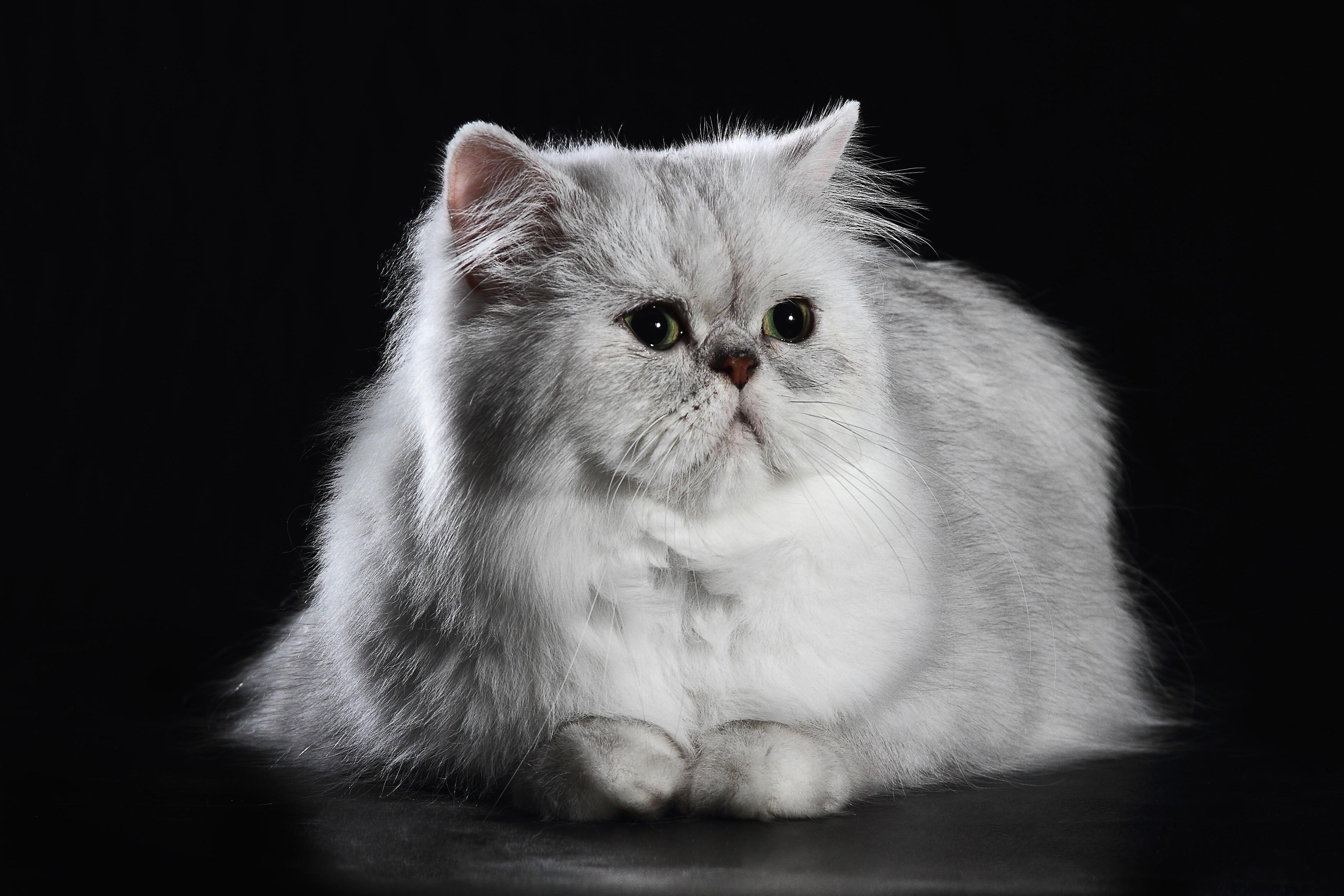 チンチラペルシャの特徴や性格、飼い方について